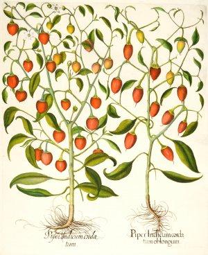 https://images.booklooker.de/s/00tT1O/HORTUS-EYSTETTENSIS-Paprika-Piper-Indicum-cordatum-oblongum-Piper-Indicum-cordatum-Paprika.jpg
