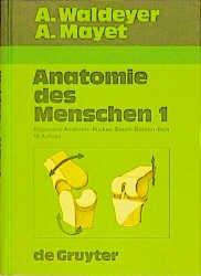 Waldeyer Anatomie