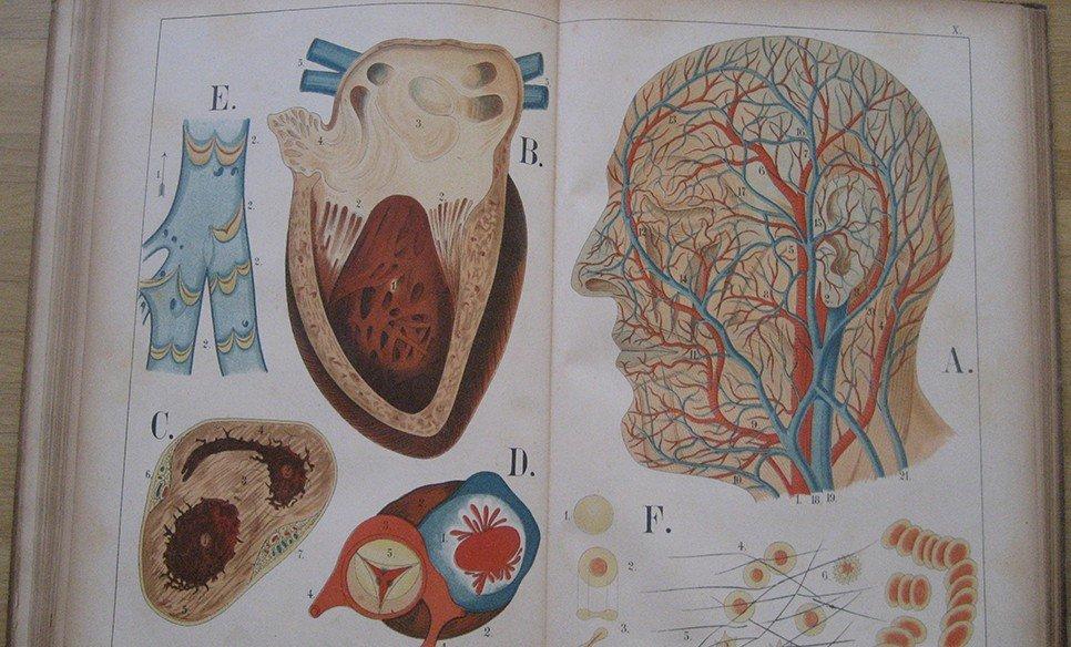 Der Bau des menschlichen Körpers, Anatomische Beschreibung des ...
